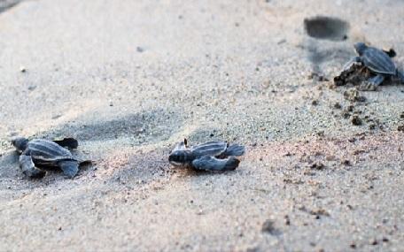 liberación de tortugas en marquelia